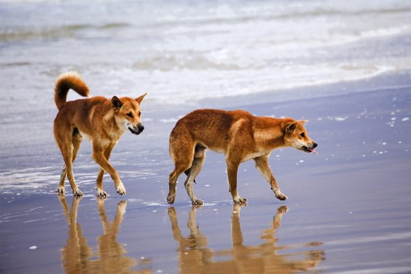 dingoes at franser island seashore